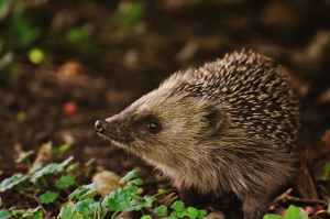 brown and black hedgehog